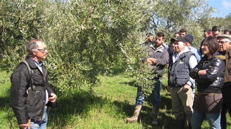 potatura olivo a vaso policonico come potare l ulivo allevamento a vaso policonico