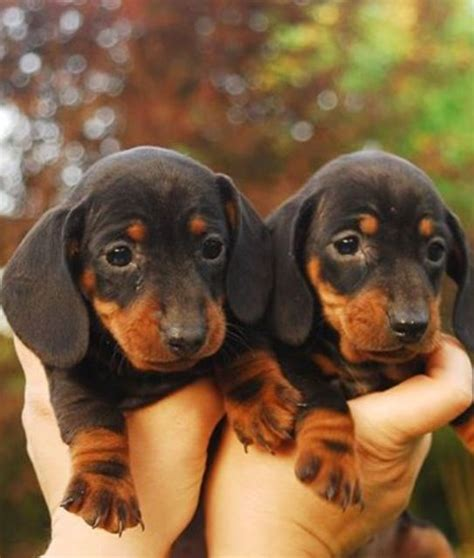 Twinpets Kaos 6 top 2863 ideas about dogs on sheepdog basset puppies and bloodhound puppies
