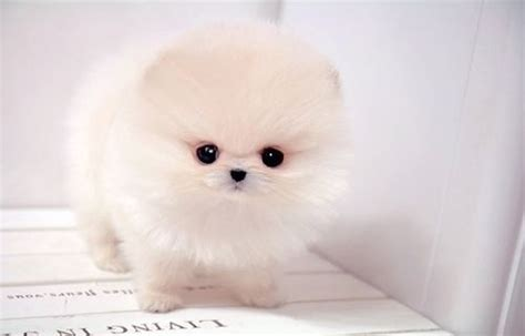 snowball pomeranian its just a fluff thats all p animals snowball white