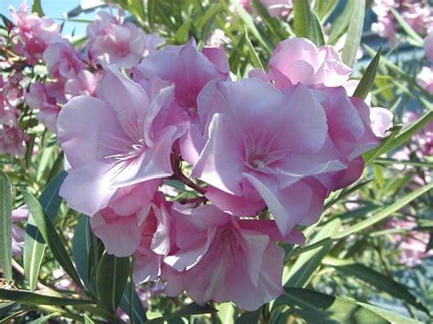 potatura oleandro in vaso oleandro nerium oleander nerium oleander piante da