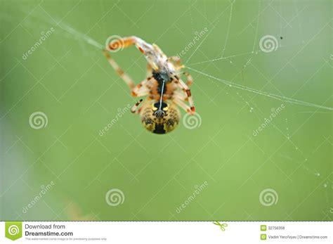Garden Spider Lives Garden Spider With Prey Royalty Free Stock Photos Image