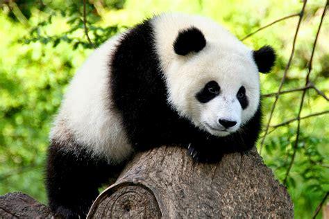 oso panda oso panda datos curiosos cu 225 nto duerme un oso panda im 225 genes de animales tiernos