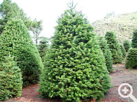 xmas tree farms covingtom trees