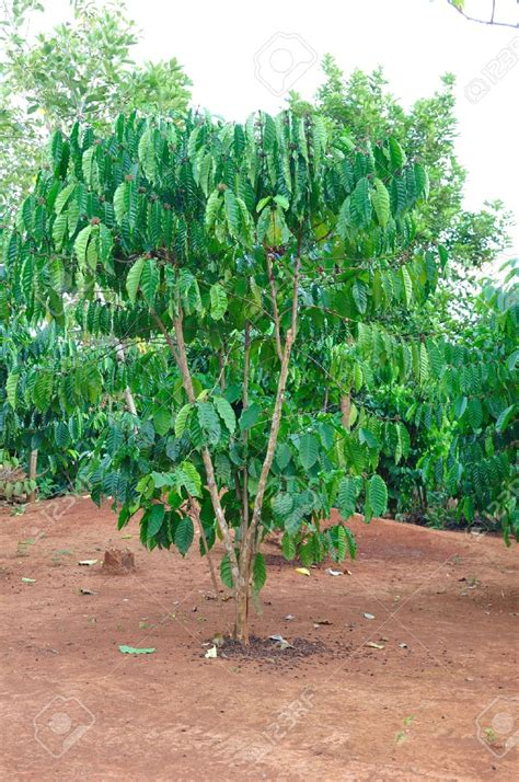 Coffee Tree grow your own robusta coffee tree buy fresh seeds free