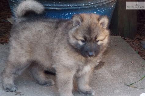 pugs for sale richmond va puppies for sale in richmond va breeds picture