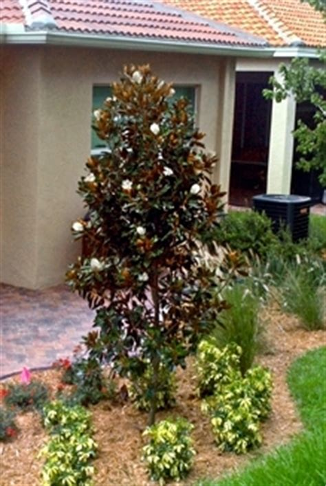 buy  gem magnolia trees  sale  miami ft