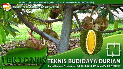 Jual Bibit Durian Petruk Di Jepara tanaman buah durian petruk daftar update harga terbaru
