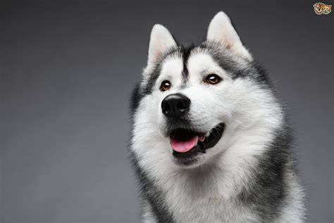 pictures of husky dogs siberian husky breed information buying advice photos and facts pets4homes