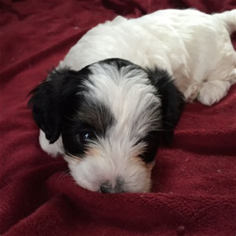 havanese puppies for sale in oregon view ad havanese poodle mix puppy for sale oregon portland