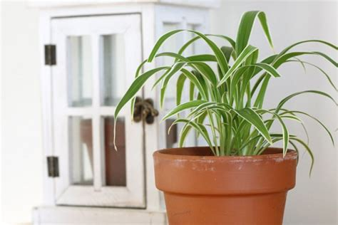 spider plant low light the 10 best low light houseplants new england today