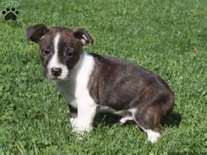 bulldog boston terrier mix puppies for sale bulldog boston terrier mix puppies for sale in pa