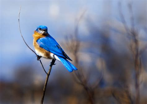 Blue Biru blue birds sue baker photography