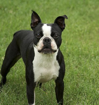 boston terrier puppies louisiana massachusetts state boston terrier