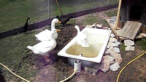 der badewanne g 228 nse in der badewanne