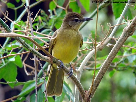 Yellow Belly opinions on yellow bellied greenbul