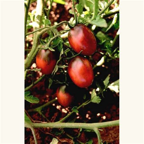 Tomot Black Plum samen saatgut tomate black plum
