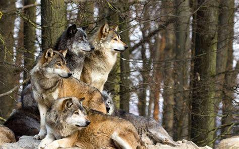 testo attenti al lupo attenti al lupo caccia oggi