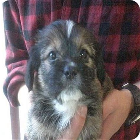 shih tzu hound mix adopted puppy hop bottom pa basset hound shih tzu mix