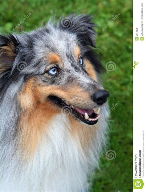 husky con occhi diversi collie with blue stock image image of competition