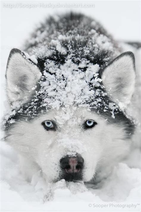 snow dogs 25 best ideas about snow dogs on pupper doggo what dogs and what is word