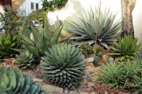 jud s amazing agave succulent garden gardendrum