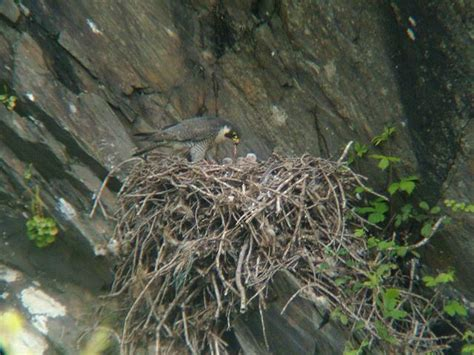 40 best images about falcons nest on pinterest atlanta falcons football wall and blog peregrine falcon nest birds nests birdhouses