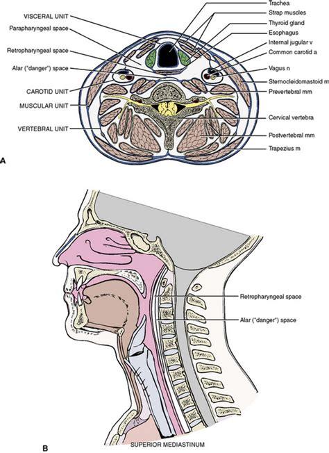 neck cross section 5 the neck pocket dentistry