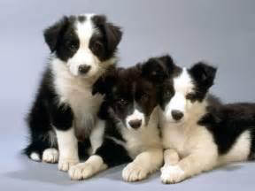 belgian sheepdog trust pin hunde bilder on pinterest