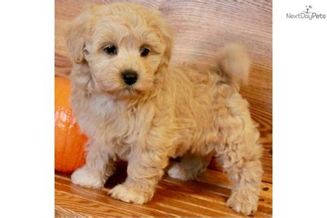 maltipoo puppies for sale illinois malti poo maltipoo for sale for 800 near bloomington