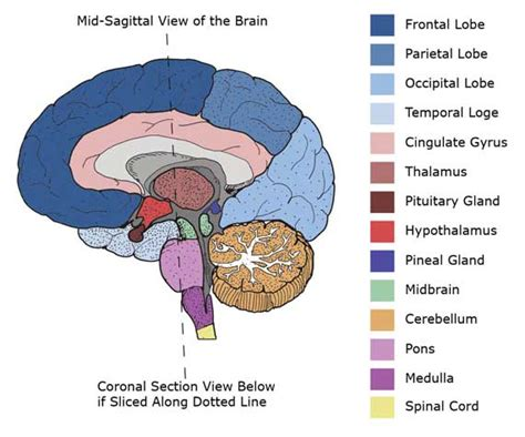 cross section of the human brain brain anatomy white matter cerebellum cerebral cortex