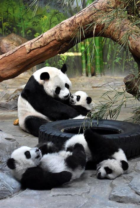Endangered pandas make a comeback as Chinese conservation ...