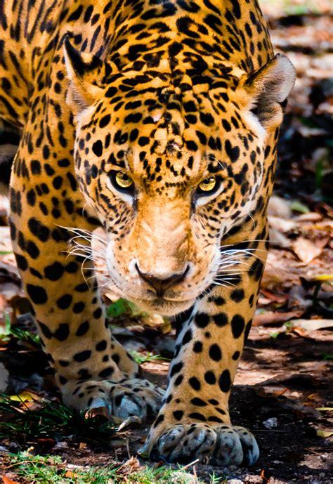 mexican jaguars image gallery mexican jaguar
