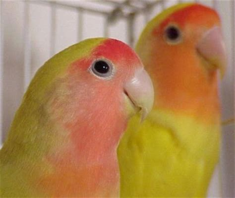 australian cinnamon orange faced lovebirds parrot parrot