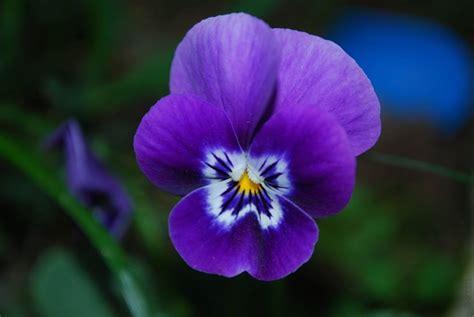 viola significato fiore viola fiore piante annuali conoscere la viola