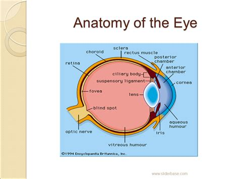 basic structures of the eye ppt download the eye presentation health and disease sliderbase