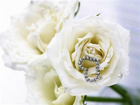 wallpaper bunga ros putih galeri gambar bunga mawar putih yang indah