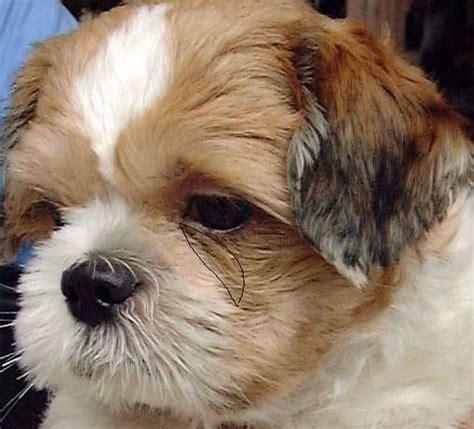 shih tzu number of teeth 0829asingapore veterinary education stories pomeranian single pup caesarian