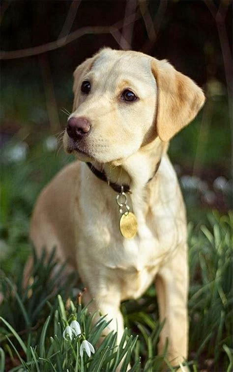 yellow labrador puppies best 25 yellow labrador puppies ideas on