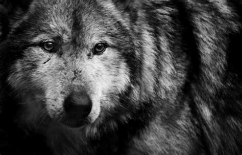 black and white wolf 29 hd wallpaper hdblackwallpaper com black and white wolf 37 desktop background