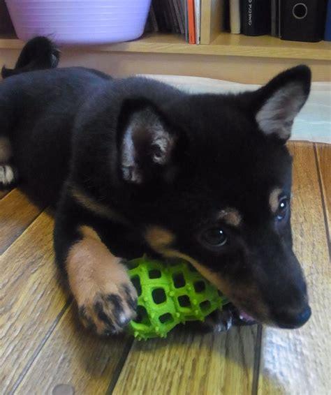 shiba inu puppies bay area pin shiba inu black and puppies for sale meme on