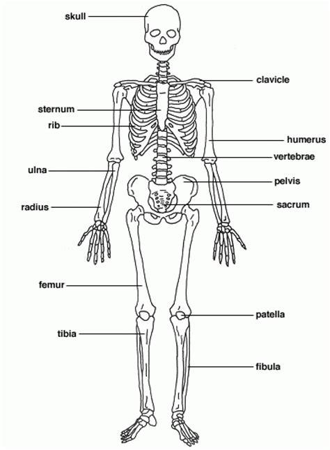 printable anatomy diagrams printable bones of the anatomy organ