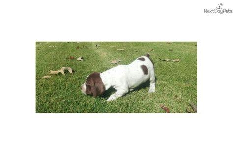 braque francais puppies sale braque francais pointer for sale for 1 000 near birmingham alabama