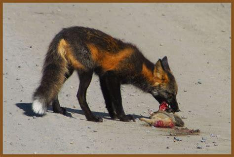 what color is a fox gt fox fur color changes