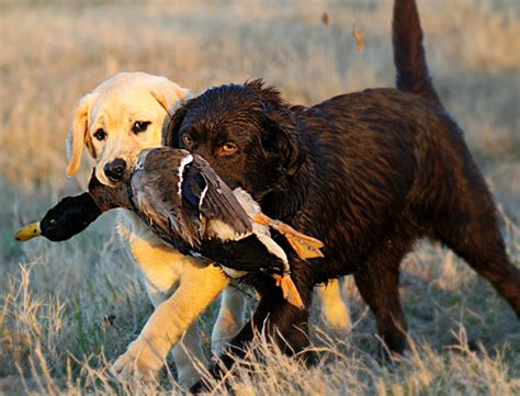 how much is a golden retriever puppy worth what do labrador retrievers cost dogs our friends photo