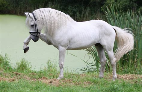 an andalusian magnificent white andalusian wallpaper wallpaperspick