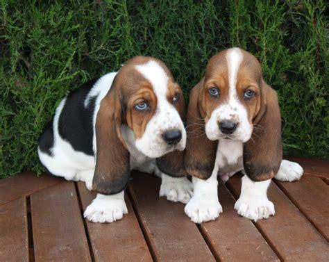 basset hound basset hound puppy