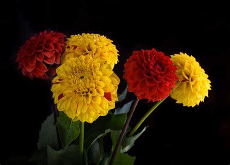 fiori crisantemi crisantemi tutte le variet 224 pollicegreen
