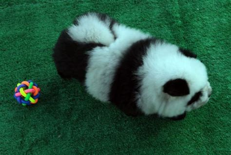 panda puppies chow panda lookalike dogs are hit with china s middle classes daily mail