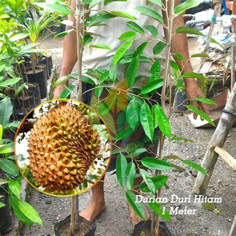 jual bibit durian duri hitam unggul  meter