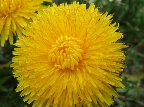 dandy flowers dandelion sjlmassiveplants